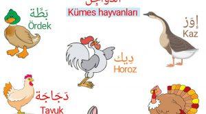 Arapçada Kümes Hayvanları-Fotoğraflı